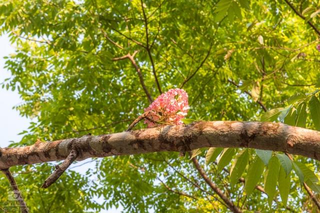 ดอกชมพูภูคา น่าน