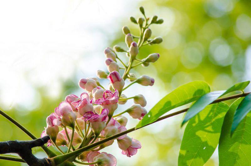 ต้นชมพูภูคา ดอยภูคา อุทยานแห่งชาติดอยภูคา